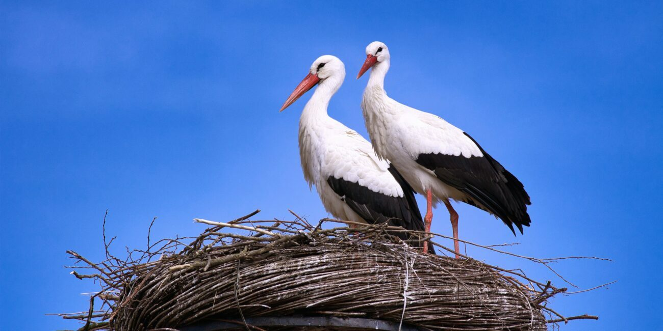storks give birth on nest in the netherlands